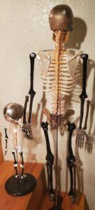300 bones v. 206, Amazing!