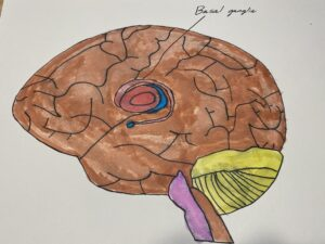 Photo depicting the location of the Basal ganglia