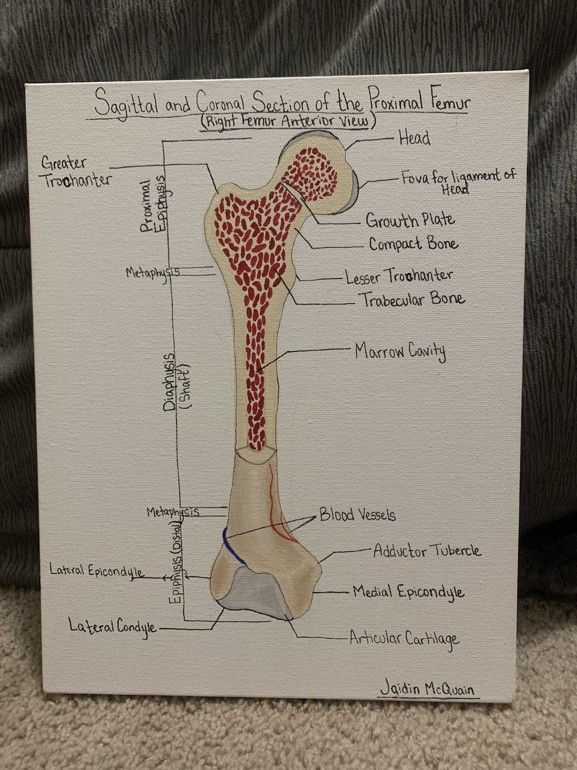 Sagittal and coronal section of femur